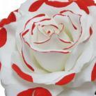 Fleurs Flamenco